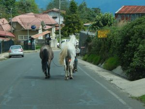 Horses on the streets of Costa Rica.